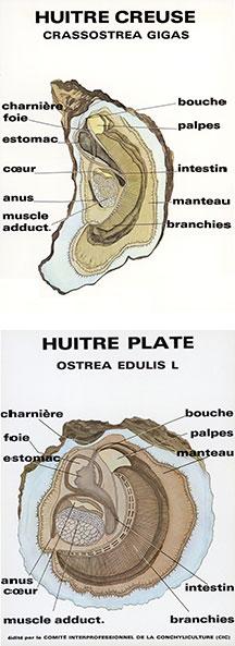 huitre_bio
